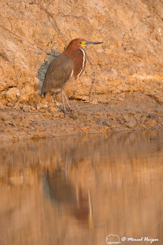 Rufescent tiger heron (Tigrisoma lineatum) , Rio Negro, Mato Gro
