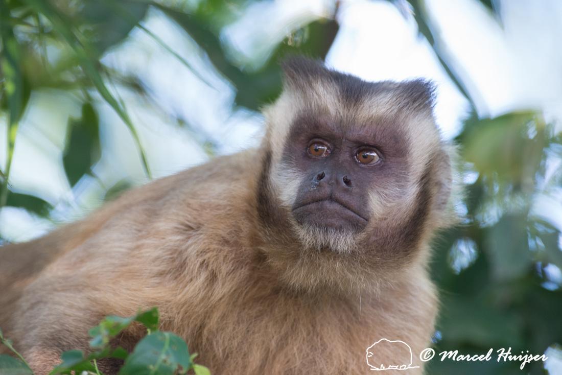 Black-capped capuchin (Sapajus apella), Mato Grosso do Sul, Braz