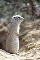 Uinta ground squirrel (Urocitellus armatus), Montana, USA