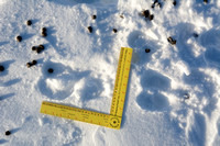 Our first muskoxen (Ovibos moschatus) tracks and pellets of the trip, Dovrefjell National Park, Norway