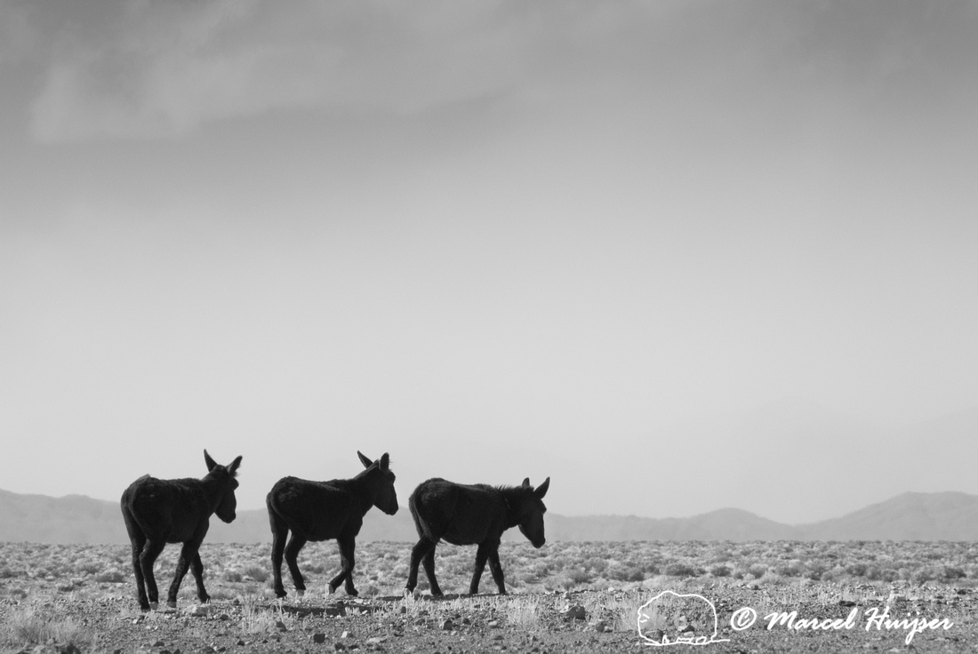 Burros (feral donkeys). Nevada, USA