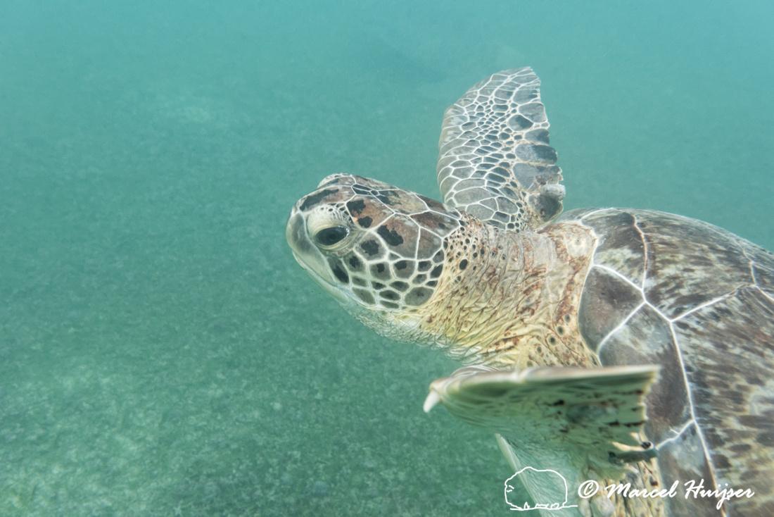Green sea turtle (Chelonia mydas), Yucatán. Mexico