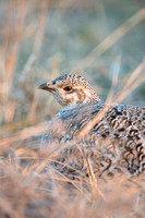 Sharp-tailed grouse (Tympanuchus phasianellus), Valentine Nation