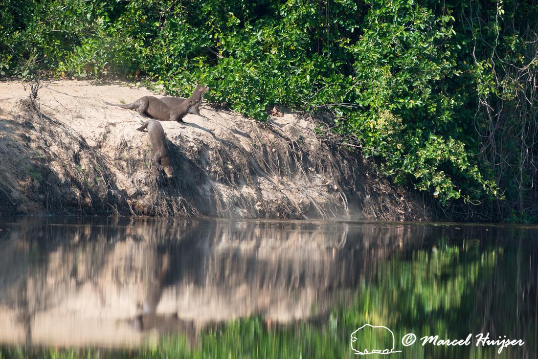 Giant river otter (Pteronura brasiliensis), Rio Negro, Pantanal,