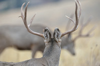 Mule deer (Odocoileus hemionus) in the rain, Montana, USA