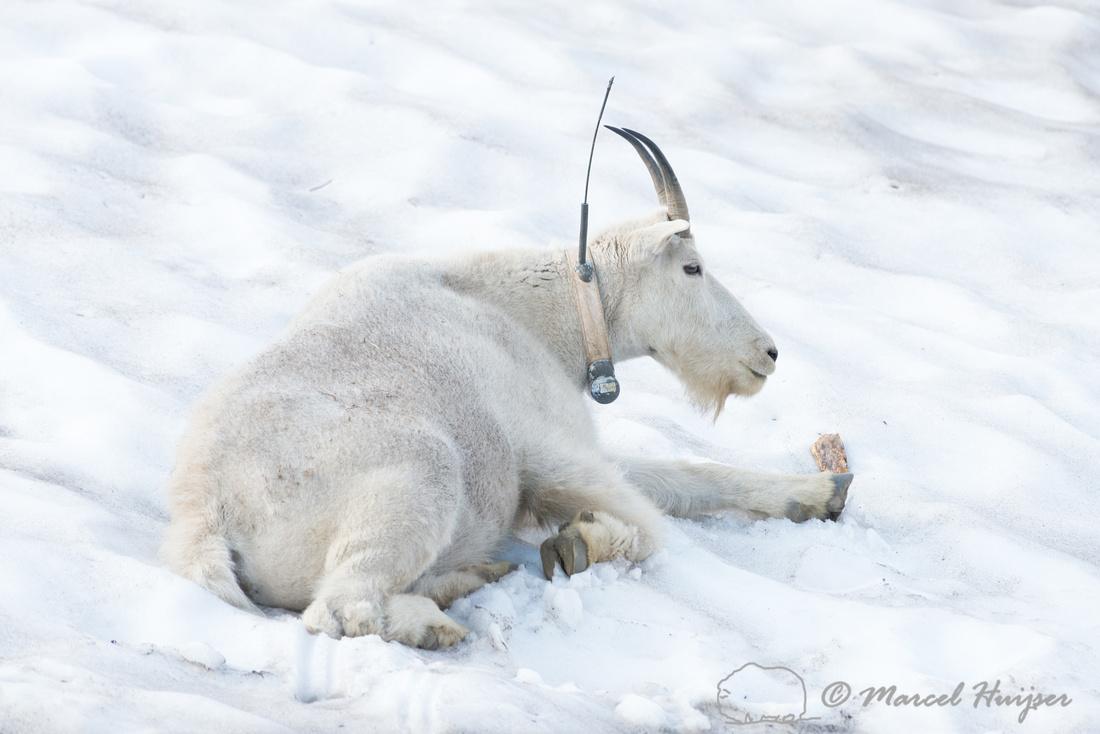 Mountain goat (Oreamnos americanus), Montana, USA