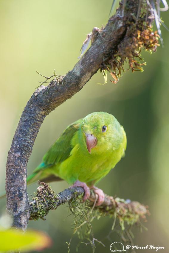Plain parakeet (Brotogeris tirica), São Paulo, Brazil