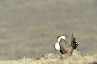 Sage grouse (Centrocercus urophasianus) in lek, Montana, USA. Near threatened (IUCN, 2013).