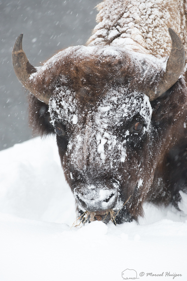 Bison (Bison bison) in snow, Wyoming, USA