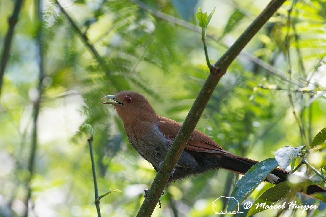 Squirrel cuckoo (Piaya cayana),  Parque Nacional Iguazú, Mision