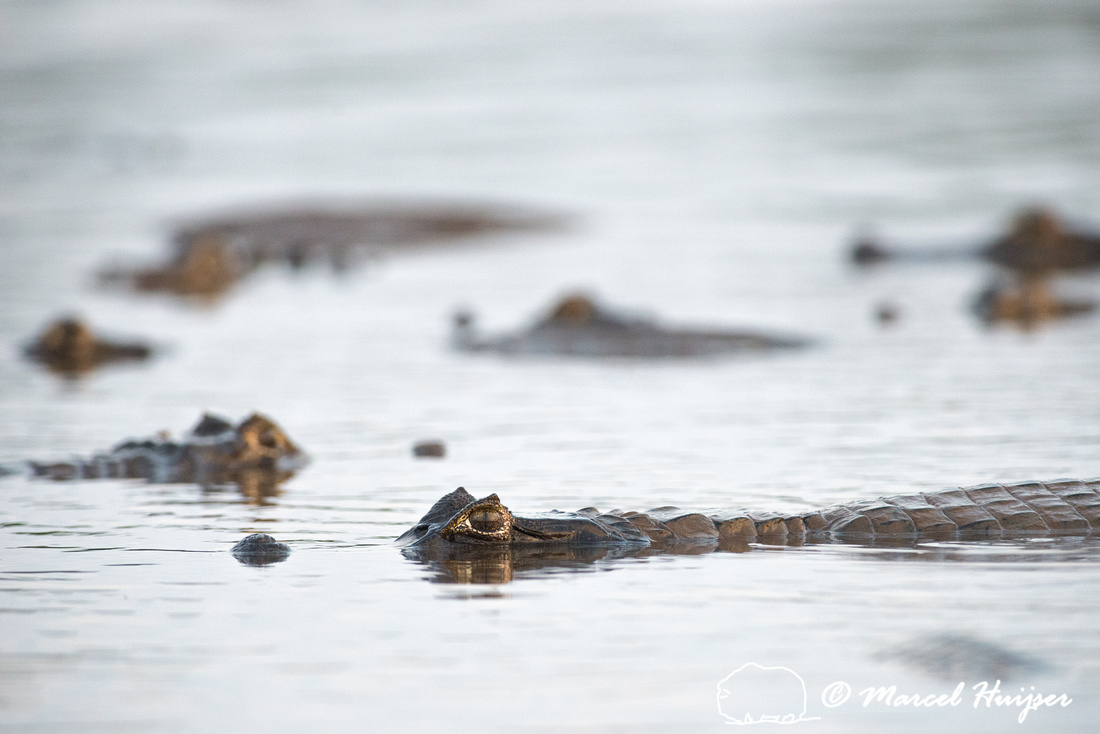 Yacare caiman (Caiman yacare), Rio Negro, Pantanal, Mato Grosso