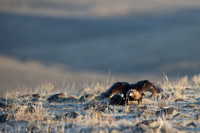 Golden eagle (Aquila chrysaetos) taking off at a sage grouse (Ce