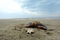 Dead sea turtle on beach, Parque Nacional da Lagoa do Peixe, Rio Grande do Sul, Brazil
