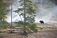 Grizzly bear (Ursus arctos) and geyser,  Wyoming, USA