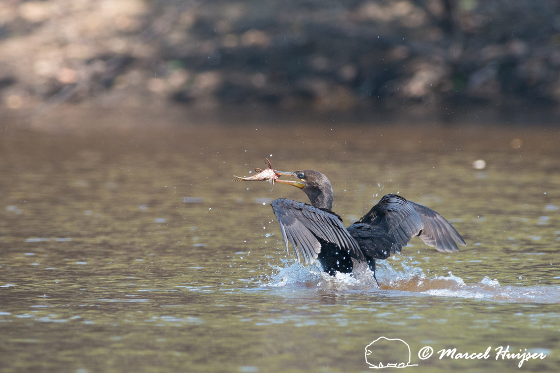 Neotropic cormorant(Phalacrocorax brasilianus), Rio Negro, Panta