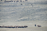 Bison (Bison bison) being herded back towards Yellowstone National park, between Gardiner and Yankee Jim Canyon, Montana, USA
