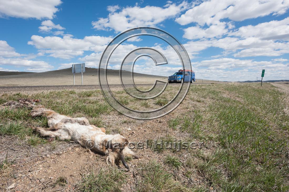 Pronghorn, (Antilocapra americana) roadkill, Montana, USA