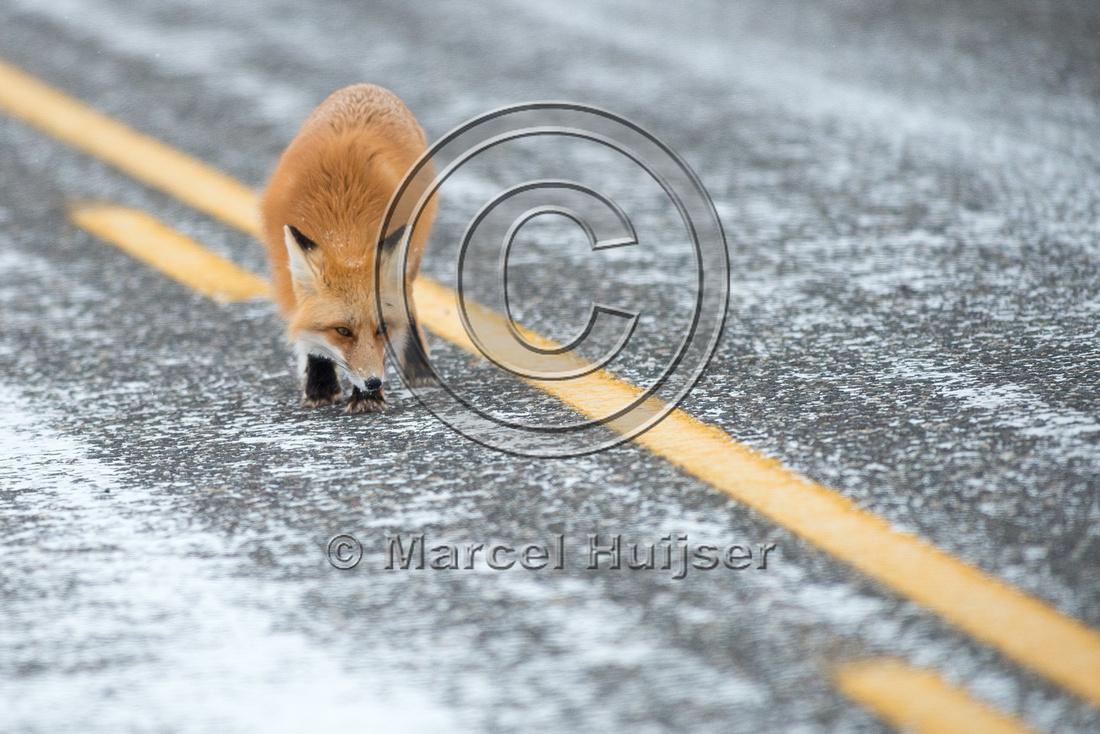 Red fox (Vulpes vulpes) urinates on road, Wyoming, USA