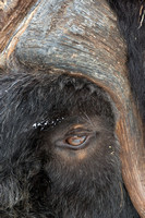 Muskoxen, details of captive animals