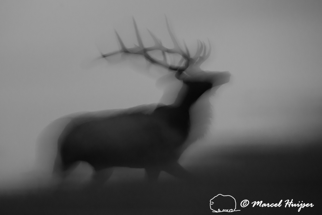 Elk ghost at dawn (Cervus canadensis), Montana, USA