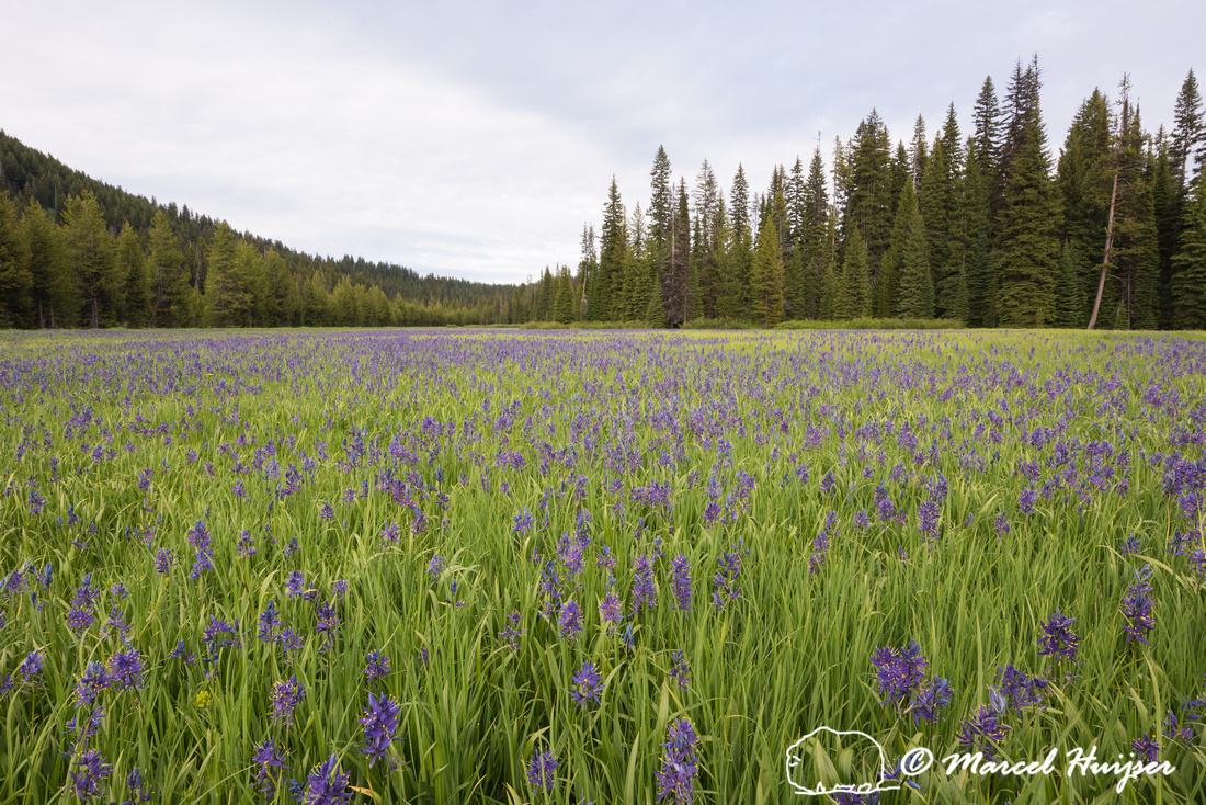 Field with blue camas (Camassia quamash) Packer Meadows, Idaho,