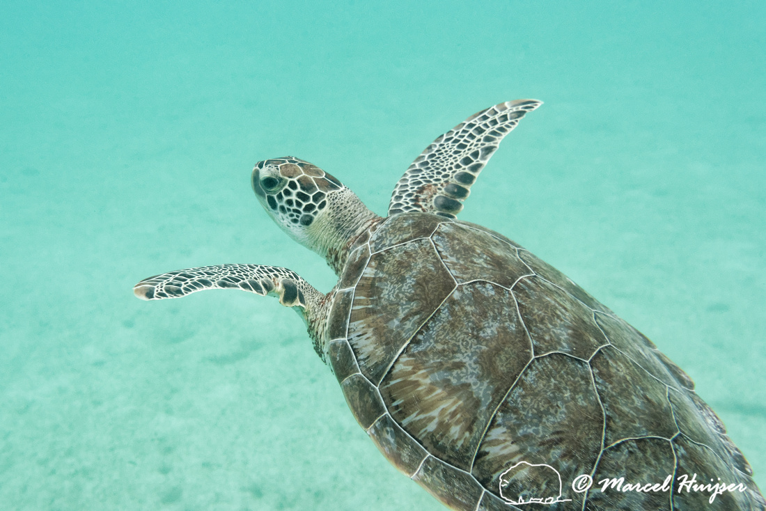 Green sea turtle (Chelonia mydas), Yucatán, Mexico