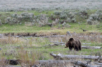 Grizzly bear (Ursus arctos) eating plants along river, Wyoming, USA