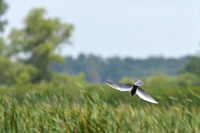 Black tern (Chlidonias niger) diving, Horicon Marsh, Wisconsin, USA
