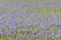 Field with blue camas (Camassia quamash) Packer Meadows, Idaho, USA
