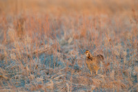 Greater prairie chicken (Tympanuchus cupido), Valentine National