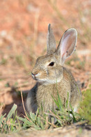 Cottontail rabbit (Sylvilagus spec.) with ticks in its ears, Bighorn Canyon National Recreation Area, Montana, USA