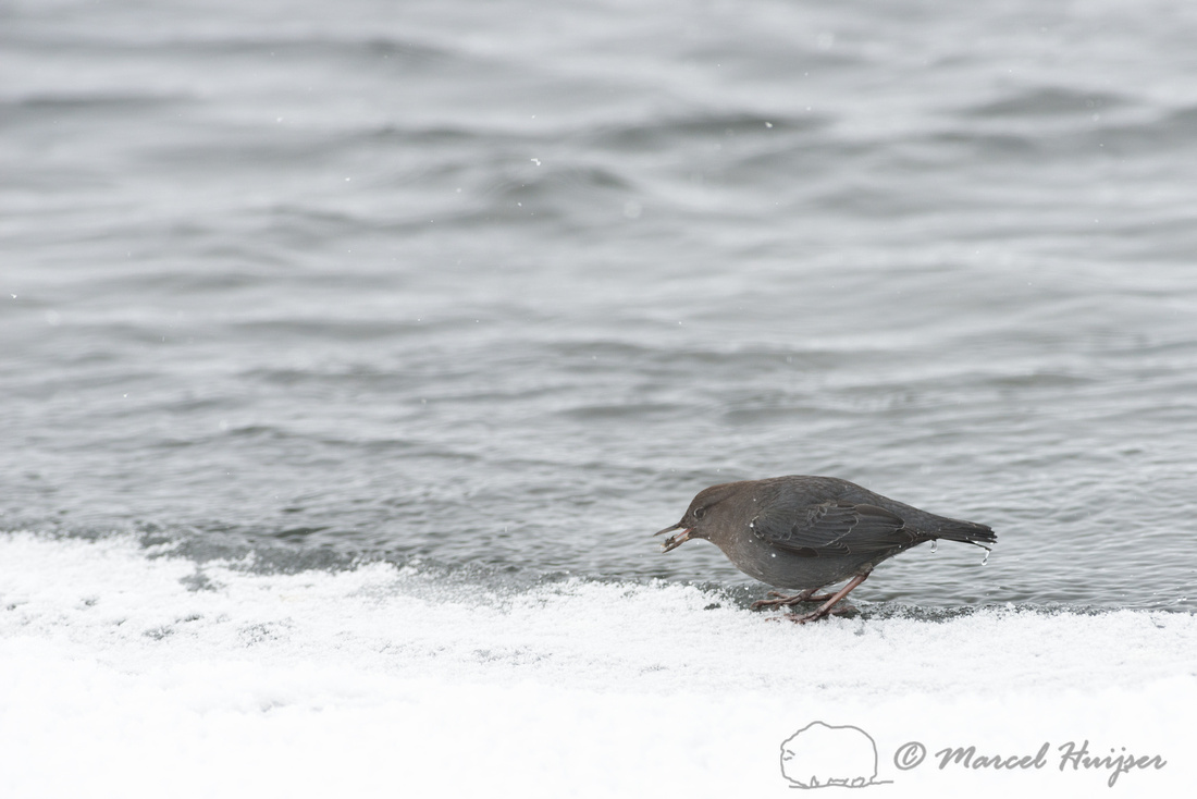 American dipper (Cinclus mexicanus), Wyoming, USA