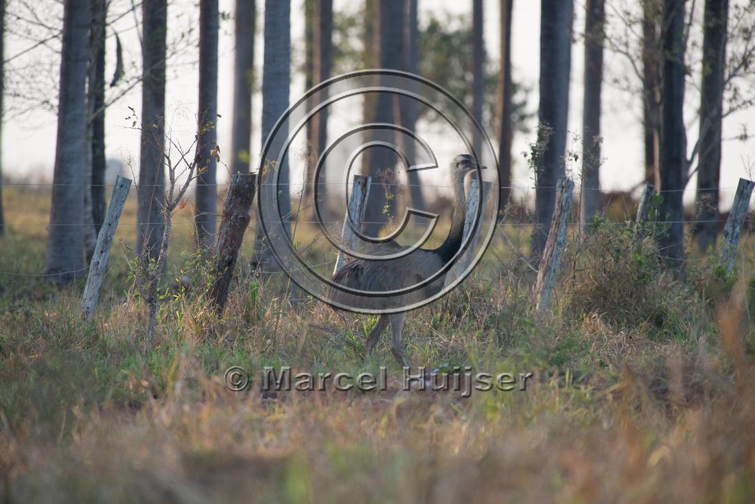 Greater rhea (Rhea americana), near Bonito, Mato Grosso do Sul,