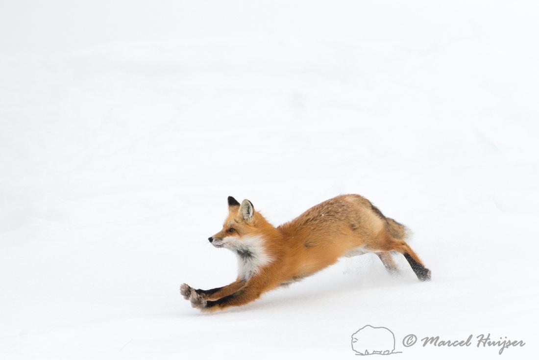 Red fox (Vulpes vulpes), Wyoming, USA