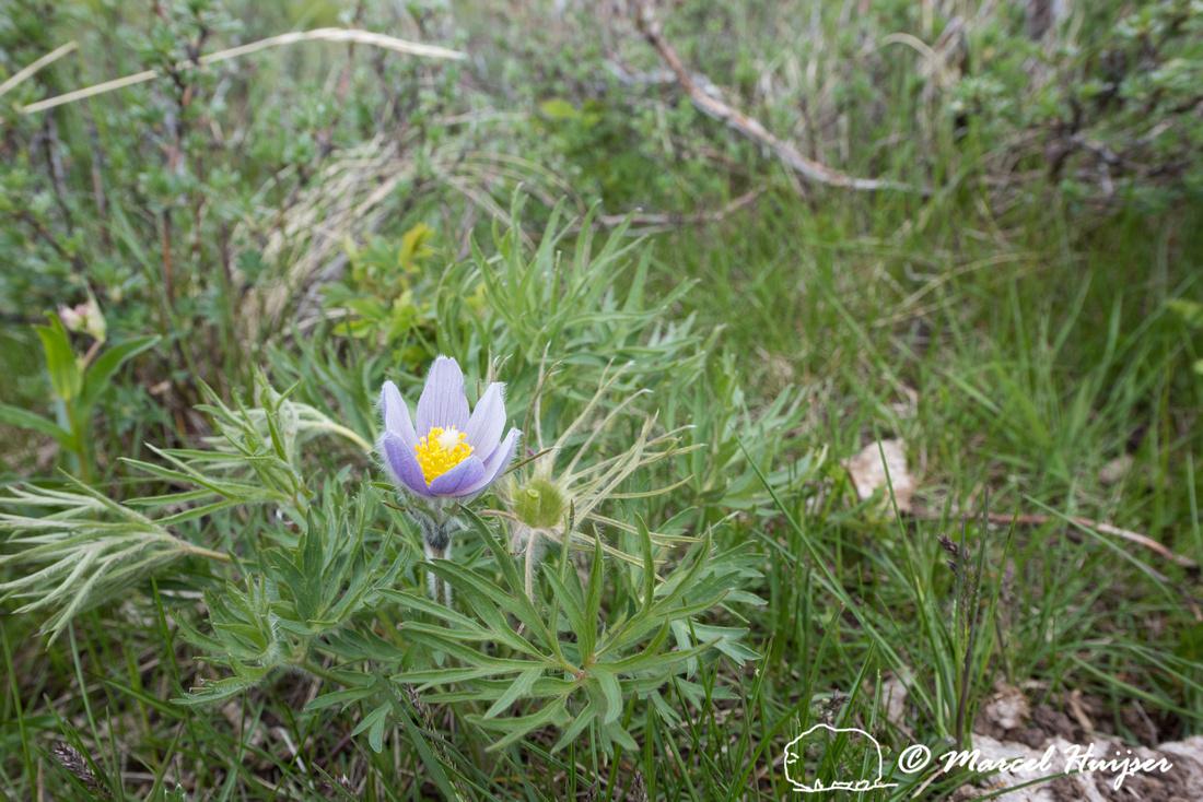 Pasqueflower (Anemone patens), Montana, USA