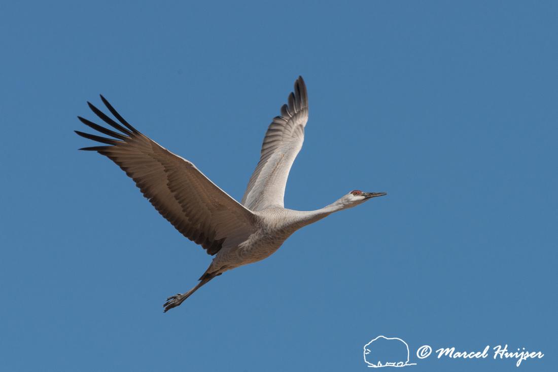 Sandhill cranes (Grus canadensis), Bernardo Wildlife Area, New M
