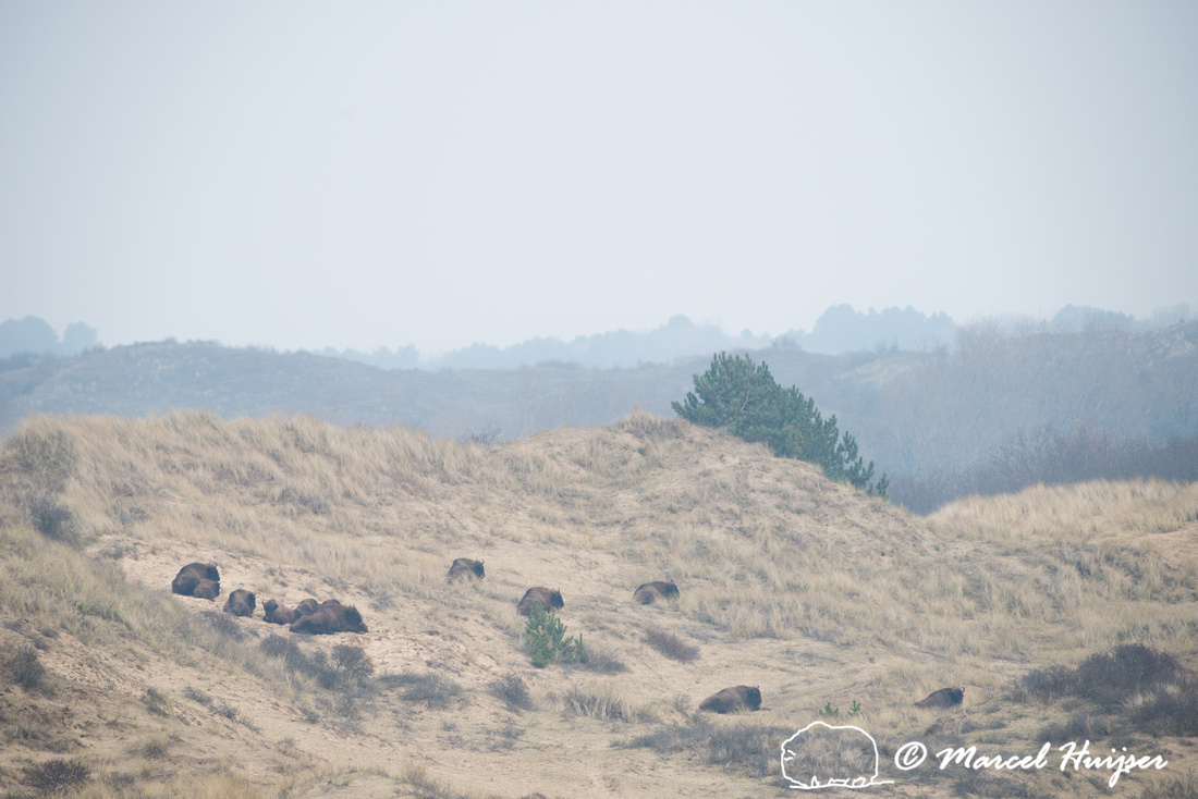 European bison (Bison bonasus), Kraansvlak, The Netherlands