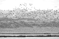 Snow geese (Chen caerulescens) migration, Montana, USA