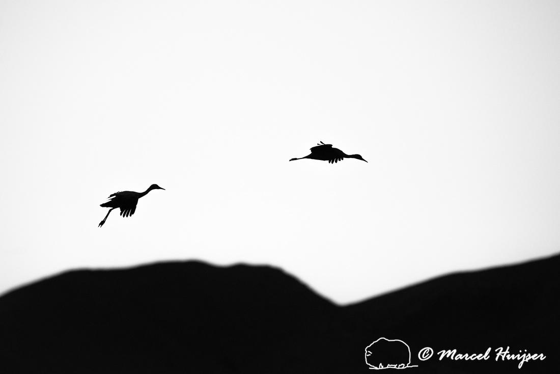 Sandhill cranes (Grus canadensis) at dusk, Bosque del Apache Nat